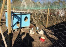 Hønsegård på Anholt Skole indviet